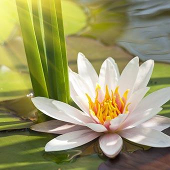 lotus1b