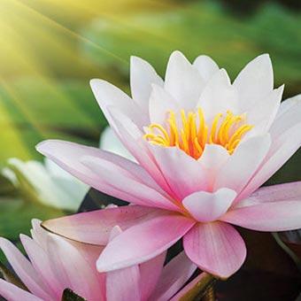 lotus2b